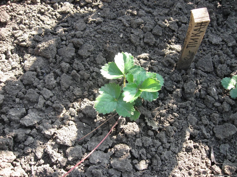 Выращивание клубники из семян своими руками 84